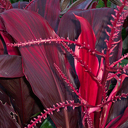 cordyline-David-Yearian.jpg, 48 kB