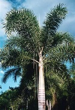 foxtail-palm.jpg, 64 kB